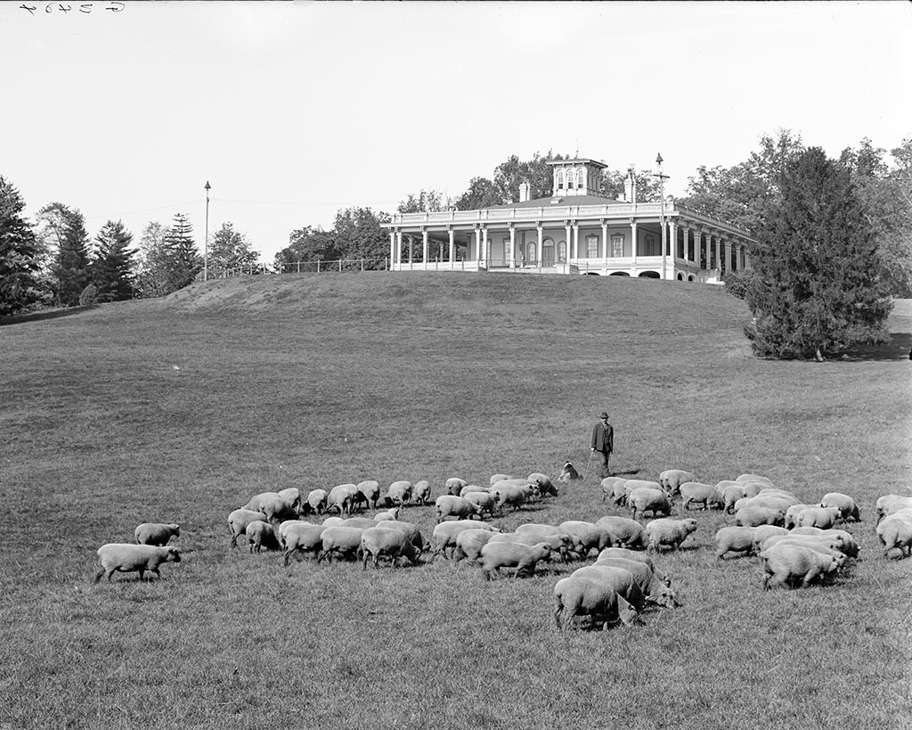 Sheep on the Mansion House Lawn